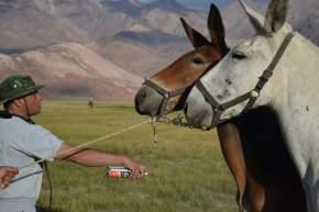 Permanente cuidado de equinos y mulares