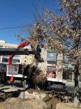 """Operativo para trasladar uno de los Robles de los Pantanos """"Quercus Palustris"""""""